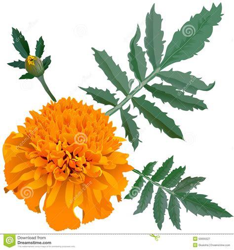 realistic illustration of orange marigold flower tagetes isolated on white background one