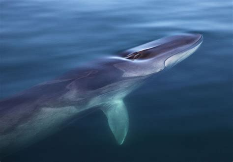 iceland  kill  endangered fin whales  dog meat
