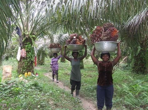palm oil ghana come does environmental root knock door carrying business