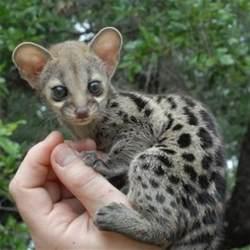 Exotic Pets Genet Animal