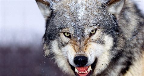 Angry Wolf Wallpaper 4k by Angry Wolf Wallpaper Hd 4k Ultra Hd Wallpaper