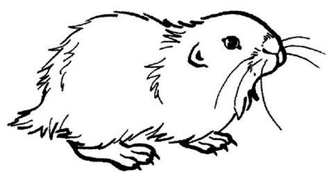 guinea pig coloring page color luna