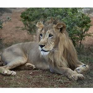 Borne Free Lyon : lion adoption born free giving ~ Medecine-chirurgie-esthetiques.com Avis de Voitures