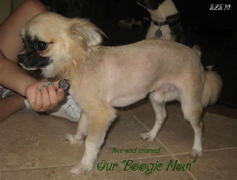 long haired chihuahua hairstyles gallery