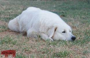 large dog breeds that don t shed dog training home dog