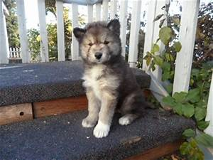 Timber Wolf Mix White Arctic Wolf Mix Siberian Husky. Just ...