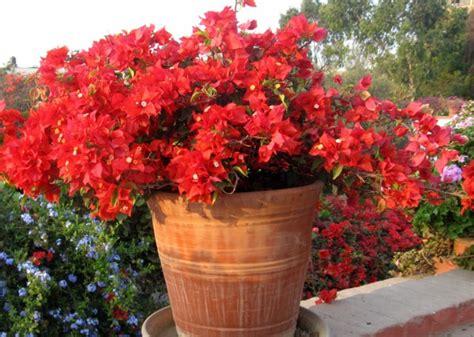cuisine coloree bougainvillier en pot un jardin à l 39 italienne