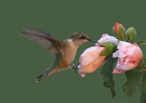 hibiskus hecke schneiden hibiskushecke 187 so wird der bl 252 hende sichtschutz zum erfolg