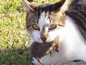 cat for adoption mouser ratter cat a domestic