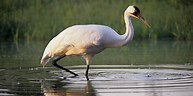 Image result for Whooping Crane