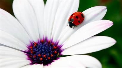 Ladybug Flowers Daisy Flower Spring Lady Bug