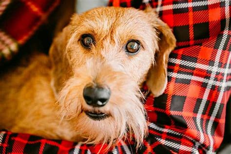 Wire Haired Dachshund: 10 Character Traits to KNow