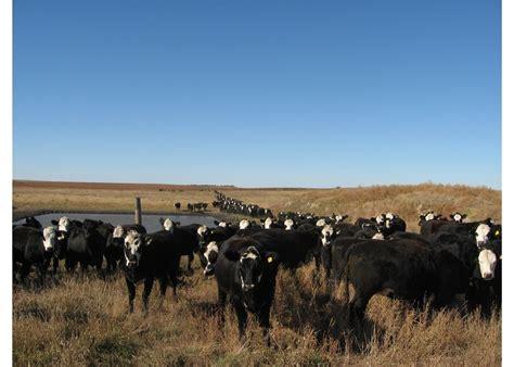 sale heifers