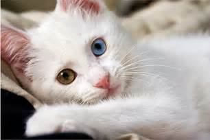 white cat white cat wallpaper beautiful desktop wallpapers 2014