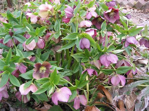 care of hellebores auntie dogma s garden spot kick your shoes off and come on in
