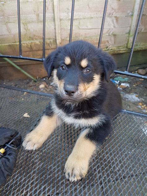 the gallery for gt rottweiler siberian husky mix