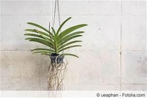 Orchideen Ohne Topf : orchideenpflege f r anf nger vor und nach bl te ~ Eleganceandgraceweddings.com Haus und Dekorationen