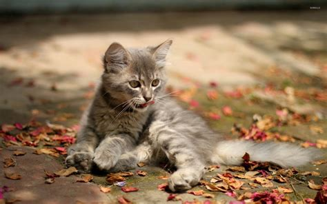Grey Animal Wallpaper - gray kitten wallpaper animal wallpapers 37433