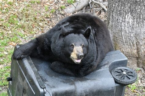 bear florida bears trash fish wildlife fwc cub proof human garbage stop adult trend conservation commission into officials feeding would