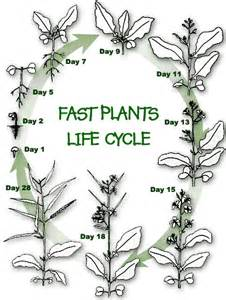 Wisconsin Fast Plants Life Cycle