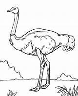 Coloring Emu Pages Birds Bird Ostrich Quiz Printable Getdrawings Topcoloringpages African Getcolorings sketch template