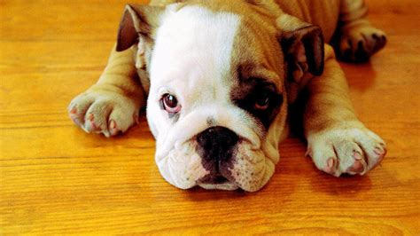 georgia bulldogs wallpaper  screensavers  images