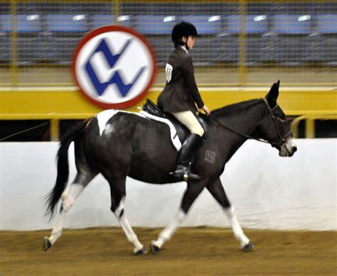saddle hunter under mule pinto