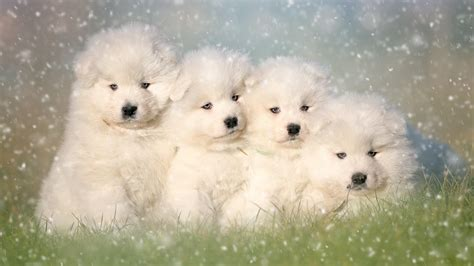 Group Of Samoyed Puppies Hd Wallpaper Wallpaper Studio