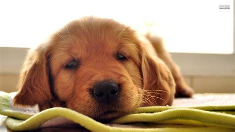 Wallpaper Golden by Golden Retriever Puppies Wallpaper 56 Images