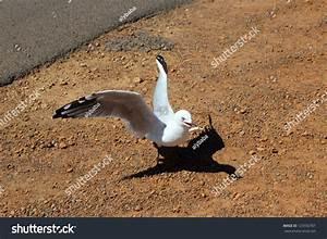 White Sea Gull Scrap Food Thrown Stock Photo 125592701 ...