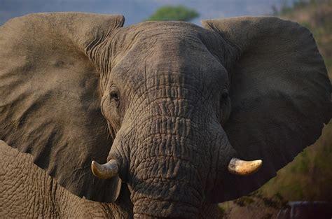 elephant afrique savane du photo gratuite sur pixabay