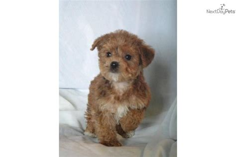 non shedding dogs ireland puppies for sale illinois non shedding puppies hypo pets