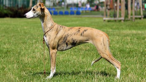 Which Dogs Do Not Shed Or Smell by 15 Breeds That Don T Smell Barking Royalty