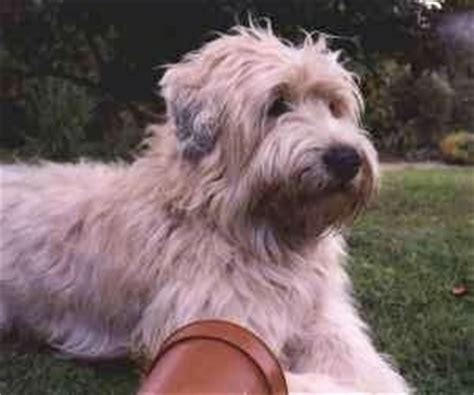 Do Wheaten Terrier Puppies Shed by Do You What Mix This Is