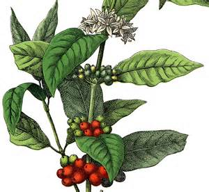 free stock image coffee plant the graphics