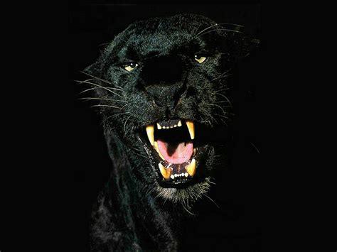 Black Jaguar Animal Wallpaper - black jaguar animal black jaguar animal wallpaper jpg