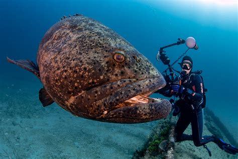 grouper goliath friendly deb scubaverse menu facts