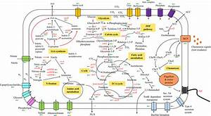 Schematic Depiction Of Genes Involved In Metabolism  Ppp