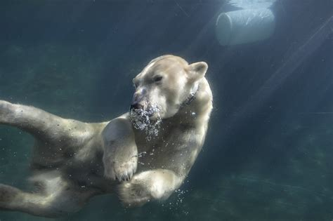 photo animal polar bears underwater world bear water swim