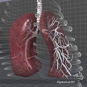 Lungs Anatomy External 3d Model