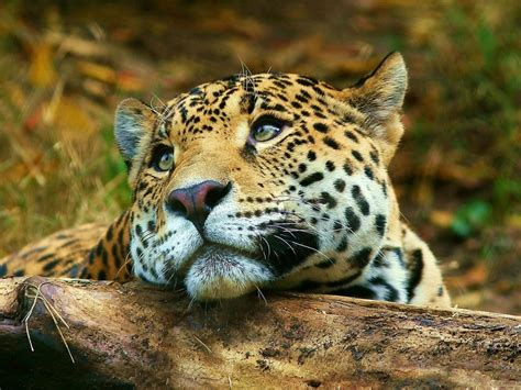 big cats wild animals wallpaper  fanpop