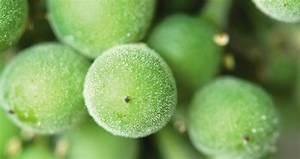 Traitement Contre L Oïdium : des produits alternatifs contre l o dium en test mon viti ~ Dallasstarsshop.com Idées de Décoration