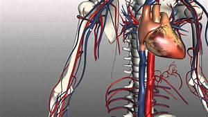 Video 61 - Sistemul Circulator Part  1