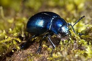 12 best beetle images on Pinterest