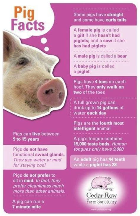pig facts pigs interesting pet swine infographic pork pets mini learn photochromic zenni farm farming baby piglets vs animal piggy