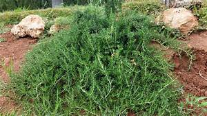 Schnell Wachsender Busch : rosmarin im eigenen garten pflanzen pflege und verwendung ~ Lizthompson.info Haus und Dekorationen
