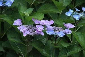 Hortensie Als Zimmerpflanze : hortensie pflegeleicht und bl hfreudig ~ Lizthompson.info Haus und Dekorationen