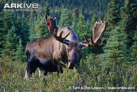 bull moose shedding antlers thursday topic purple row