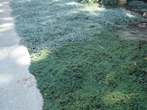 drought tolerant ground cover drought tolerant ground cover plants landscaping bay area