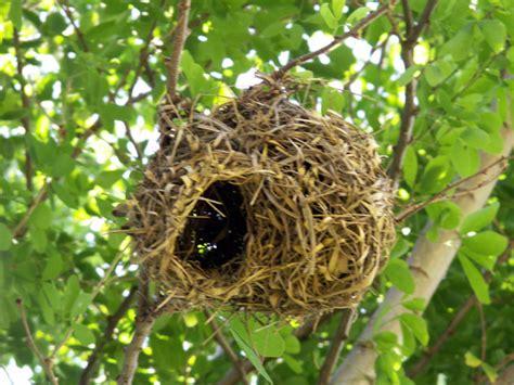 location vacances chambre d hotes photos photo tisserin nid tisserin appelé bellier à la